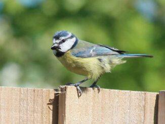 Birds blue tit